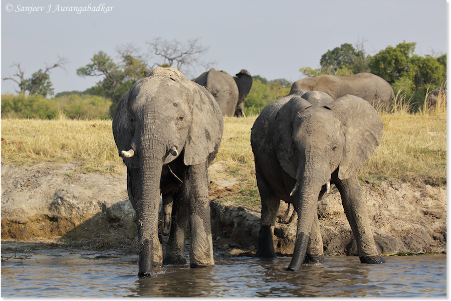 Elephants quenching thirst at waterhole
